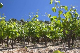 Peljesac vineyards in rocky soil
