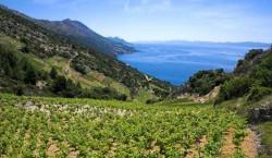 Vineyards of Bartulovic Winery overlooking the Adriatic - Peljesac peninsula