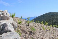 Milos Winery, plantings of Maraština