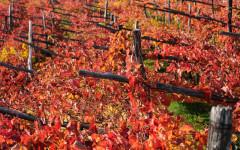 Karst vineyards in Autumn